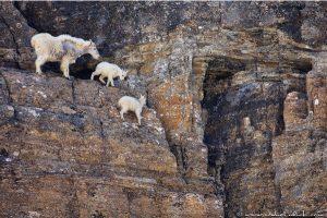 爬懸崖峭壁的山羊